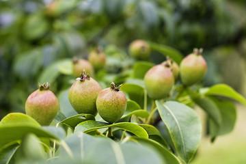 Pears growing on tree