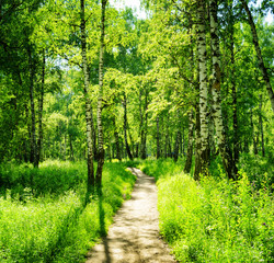 Obraz Birch forest on a sunny day. Green woods in summer - fototapety do salonu
