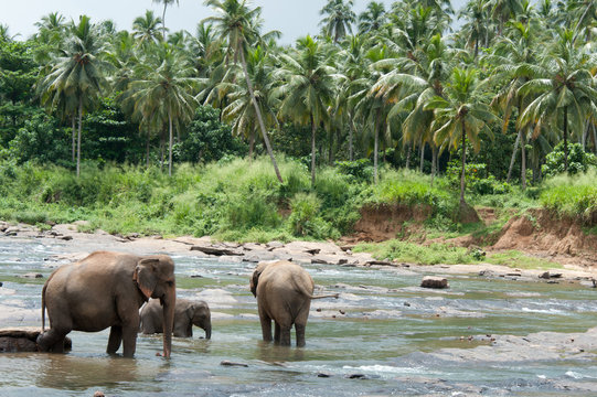 Asian Elephant taking a bath, Sri Lanka