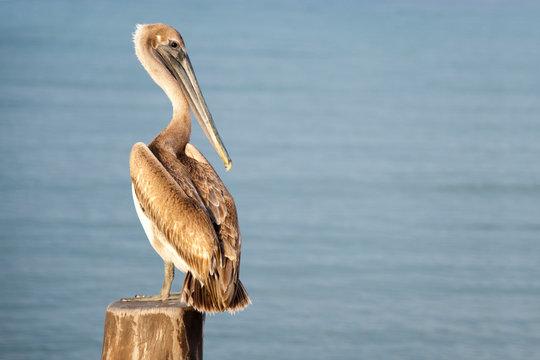 A pelican sits on a pylon post, Cozumel Mexico