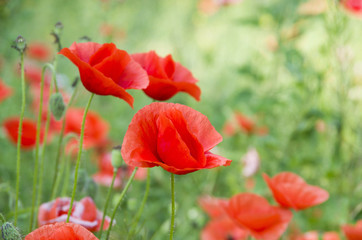 Wall Mural - red poppies on green field