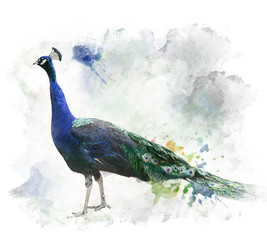 Watercolor Image Of Peacock