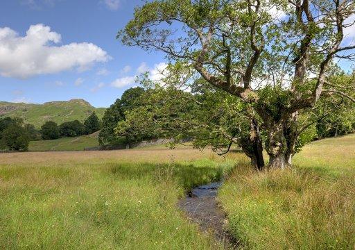 Alder tree and stream