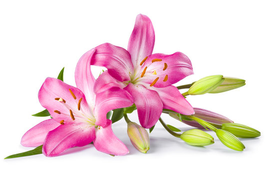 Pink lily flower isolated on white background