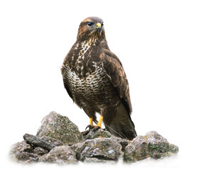 Common Buzzard on White Background