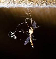 large mosquito. macro
