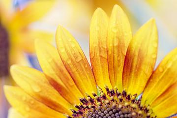 beautiful sunflowers outdoors