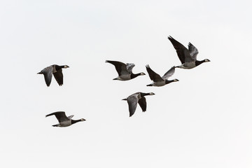 Barnacle goose flying