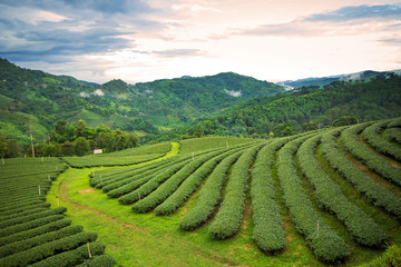 Natural landscape of tea planation on the moutain in Chaingrai p