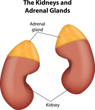 Adrenal Glands and Kidneys labeled Diagram