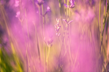Defocused lavender flower background