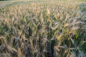 Wheat field lit by the setting sun
