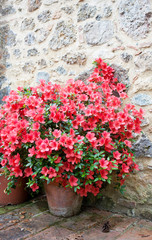 Big bush of an azalea in the yard near a stone wall of the house