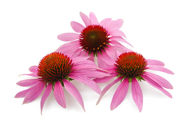 Wall Mural - coneflowers