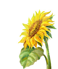 Sunflower isolated on white,  oil painting