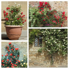 images from roses garden, Tuscany