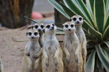 suricate group