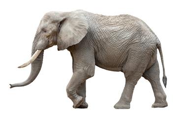 Papiers peints Elephant Elefant vor weißem Hintergrund
