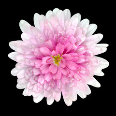 Dahlia Flower pink petals Isolated on Black