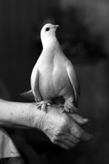Portrait of white dove