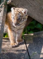 Tigerbaby (Panthera tigris)