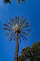 Palmier palmacée Palmae arécacée