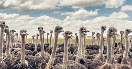 Deurstickers Struisvogel Herd of Ostriches