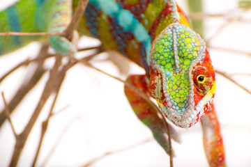Foto op Aluminium Kameleon Chameleon