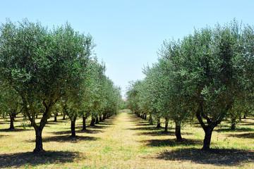 Foto op Aluminium Olijfboom olive trees in Tuscany countryside, Toscana, Italy