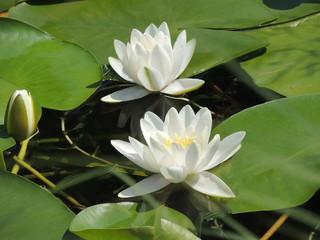 Цветущие белые водные лилии на озере.