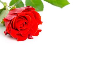 blühende rote rose mit textfreiraum
