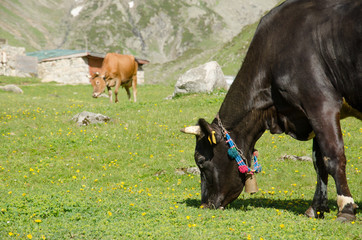 Cows at plateau