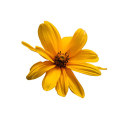 saturated yellow daisy