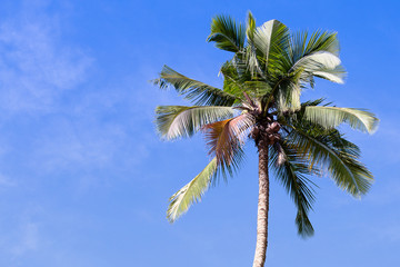 Coconut palm tree and blue sky