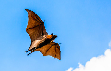 Flying fox on blue sky