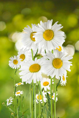 image of  daisies flowers on a green background closeup