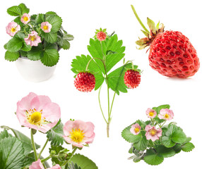 Collections of strawberry flowers and berry isolated on white ba
