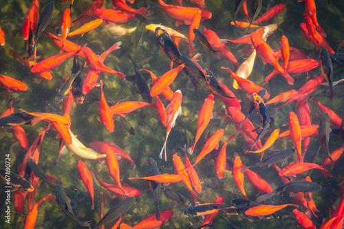 goldfische im teich stockfotos und lizenzfreie bilder. Black Bedroom Furniture Sets. Home Design Ideas
