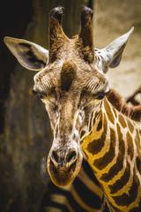 funny beautiful giraffe in a zoo park