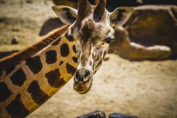 giraffa, beautiful giraffe in a zoo park