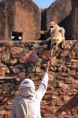 Indian man feeding gray langurs at Ranthambore Fort, India