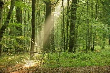 Forêt à l'aube. Coup de projecteur du soleil.