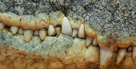 Poster Crocodile Krokodil-Zähne