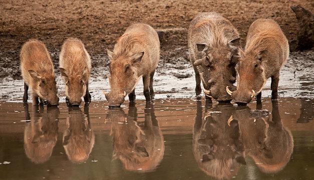Warthog family at the waterhole