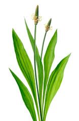Ribwort (Plantago lanceolata)