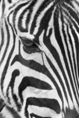 Zebra face closeup