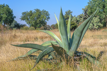 Agave, typical Mexican plant