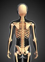 Human skeleton back view