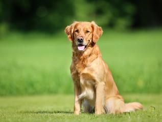 Photo sur Plexiglas Chien Golden retriever dog