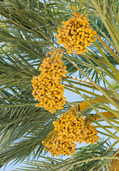 Ripening dates and palm's leaves and branches